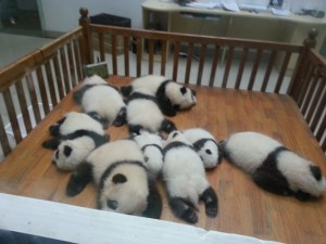 Bayi-bayi Panda