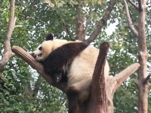 Seekor Giant Panda di Chengdu Base Research
