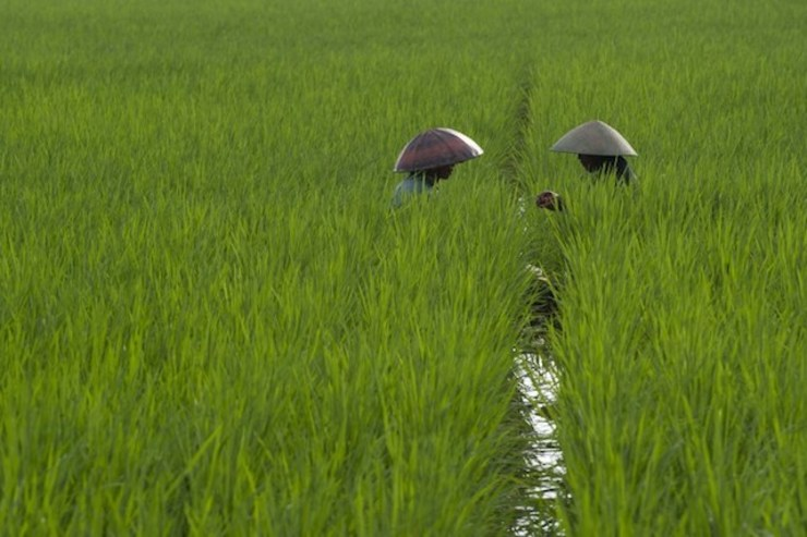 Petani sedang bertani di desa Gentasari, Cilacap, Jawa Tengah. Foto oleh Romeo Gacad/AFP